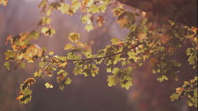 Colorful red and yellow leaves on tree branch stock footage