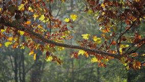 Colorful red and yellow leaves on tree branch stock video footage