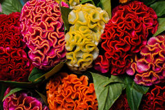 Colorful red yellow orange celosia flower Royalty Free Stock Images