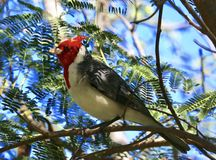 Red crested Cardinal bird Oahu Hawaii. Colorful redcrested cardinal bird with red head white collar and body and grey feathers sings in trees in Hawaii royalty free stock images