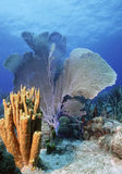 Colorful reef. A Purple sea fan and a cluster of yellow tube sponges adorn this shallow Caribbean reef Royalty Free Stock Photos