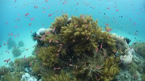Colorful Reef Fish and Corals in Papua New Guinea. Colorful Redfin anthias swarm around a lush coral bommie in Papua New Guinea. This tropical region is known stock video
