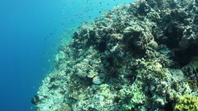 Colorful Reef Fish and Edge of reef. Colorful fish swim along the edge of a diverse coral reef growing near a remote island in Indonesia stock video
