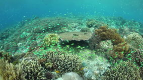 Colorful Reef Fish in Indonesia. Colorful Blue-green damselfish swim above a coral reef in Indonesia stock video