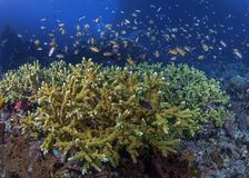 Halo of tropical fish over coral reef royalty free stock photos