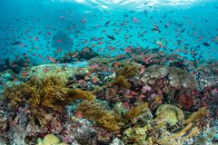 Colorful Reef Fish in Strong Current Above Coral Reef Royalty Free Stock Photo