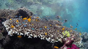 Colorful Reef Fish. Swim above corals in Raja Ampat, Indonesia. This region is within the Coral Triangle and harbors extraordinary marine biodiversity stock video footage
