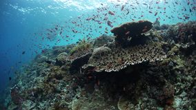 Healthy and Vibrant Coral Reef in Alor, Indonesia. Colorful reef fish swim above a vibrant coral reef near Alor, Indonesia. This tropical region, part of the stock video