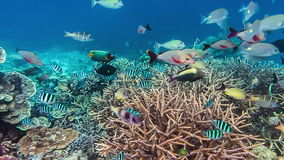 Colorful reef fish swimming above a coral reef in Raja Ampat, Indonesia. Region with the highest marine biodiversity in. The world. Best spot for divers and stock video footage
