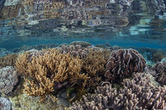 Colorful Reef in Shallows. A healthy, robust coral reef grows in the shallows of Raja Ampat, Indonesia. This region is the heart of the Coral Triangle and Stock Image