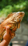 Colorful reptile in the hand of man Stock Image
