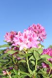 Colorful Rhododendron flowers in a blue sky Royalty Free Stock Photography