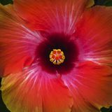 Colorful hibiscus closeup centered. Colorful and rich hibiscus flower bloom closeup and centered in composition Stock Image