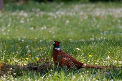 Male common pheasant in the woods. Colorful ring-necked male pheasant walking on a flowery field during the day stock image