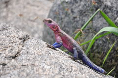 Colorful rock agama Royalty Free Stock Photo