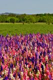 Colorful Rocket Flowers with blue skies. A meadow of pink, purple and white rocket flowers in Fredericksburg Texas Royalty Free Stock Images
