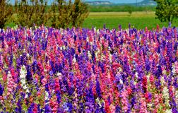 Colorful Rocket Flowers with blue skies. A meadow of pink, purple and white rocket wild flowers in Fredericksburg Texas Royalty Free Stock Photos