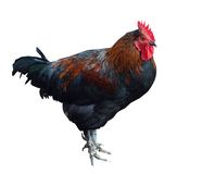 Colorful Rooster Royalty Free Stock Photography