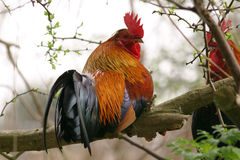 Colorful rooster on a branch Royalty Free Stock Photo
