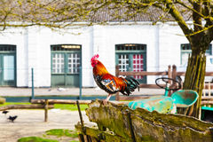 Colorful Rooster closeup in the village yard Stock Photography