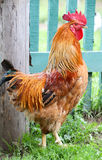 Colorful Rooster, cock Royalty Free Stock Image