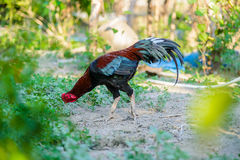 Colorful rooster or fighting cock in the farm Stock Photography