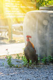 Colorful rooster or fighting cock in the farm Royalty Free Stock Images