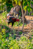 Colorful rooster or fighting cock in the farm Royalty Free Stock Photo