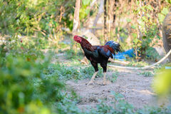 Colorful rooster or fighting cock in the farm Stock Images
