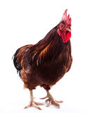 Colorful Rooster Stock Images