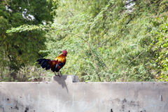 Colorful Rooster. A colorful rooster sits on a wall in the forest in Myanmar Royalty Free Stock Images