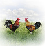 Colorful Rooster Stock Photography