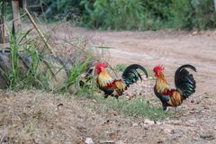 Colorful roosters in the backyard of farm. royalty free stock photos