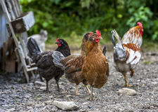 Colorful Roosters in Iceland Royalty Free Stock Photo