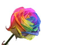 Colorful rose. Splendid rose with each petal colored with another color Stock Images
