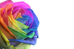 Colorful rose. With each petal in another color Stock Photo