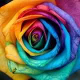 Colorful rose. Amazed at how they did this Royalty Free Stock Image