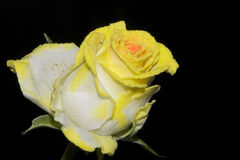 Colorful Rose Stock Photography