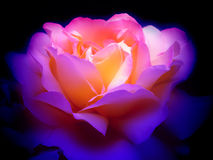 Colorful rose in the dark