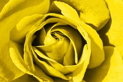 Colorful rose detail background. Yellow stock photography