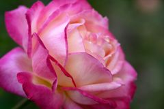 Colorful rose flower macro Royalty Free Stock Photos