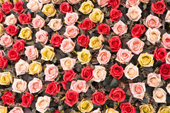 Colorful of rose flowers. Colorful of rose flowers for background or wallpaper Stock Images