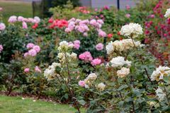 Colorful rose garden. Blooming rose blossoms in a decorative garden Stock Photos