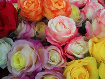 Colorful rose. Royalty Free Stock Photos