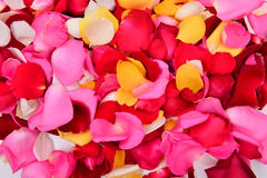 Colorful rose petal Stock Image