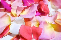 Colorful rose petals close-up. Romantic atmosphere. Atmosphere of love. Beautiful background of rose petals stock image