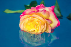 Colorful rose Stock Photos