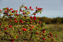 Colorful rosehips Stock Image