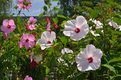 Colorful rosemallow Royalty Free Stock Images