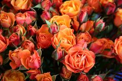 Colorful Roses. Blossoming roses of different shades of crimson, yellow and orange Royalty Free Stock Images